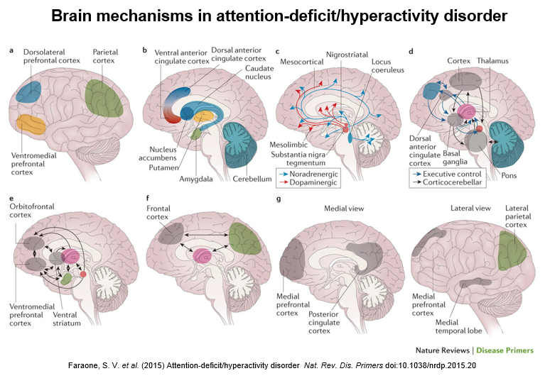 Eight Pictures Describe Brain Mechanisms In ADHD